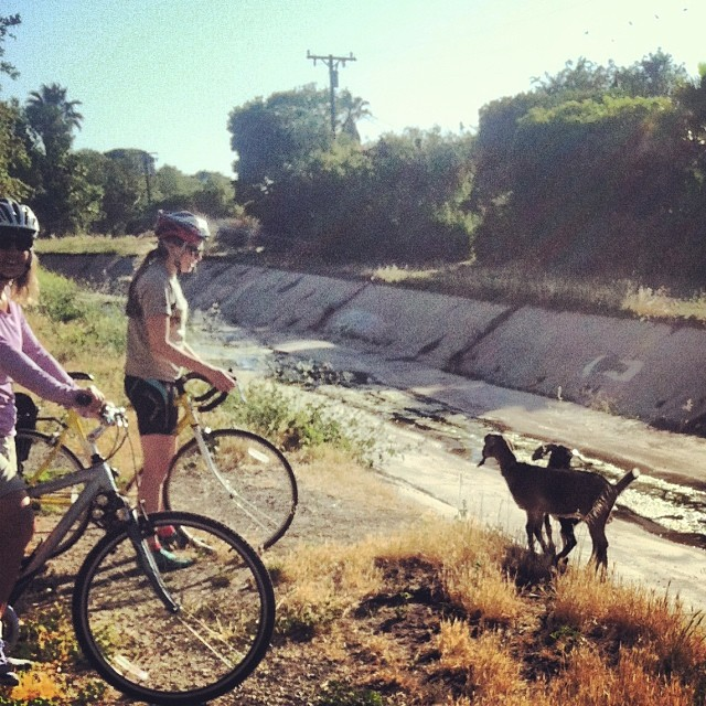 Goats Gone Wild! My bike ride home from work turned into an adventure in goat herding.